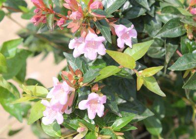 Abelia Grandiflora'Edward Goucher' (Kap 3clt 5clt 10clt) (Boy 40-60=60-80=80-100)