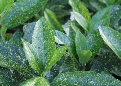 Aucuba Japonica 'Variegata' (Kap 3clt 5clt 10clt) (Boy 40-60=60-80)