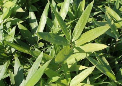 Bambusa Nana (Kap 3 clt 5 clt 10clt) (Boy 40-60=60-80)