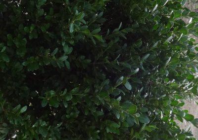 Buxus Microphylla Faulkner (Kap 3 clt 5 clt 10clt) (Boy 40-60=60-80=80-100)