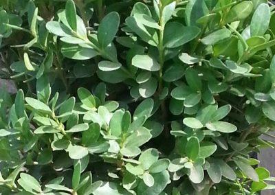 Buxus Sempervirens Suffruticosa (Kap 3 clt 5 clt 10clt) (Boy 40-60=60-80=80-100)