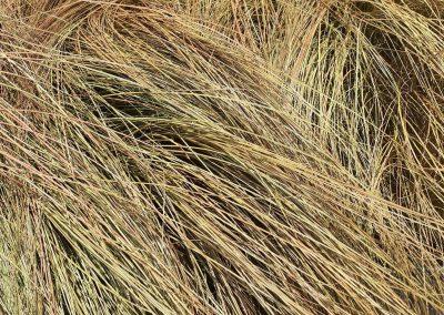 Carex Buchananii (Kap 3clt 5clt 10clt) (Boy 40-60=60-80)