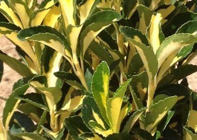Euonymus Japonicus Aurea (Kap 3 clt 5 clt 10clt) (Boy 40-60=60-80=80-100)