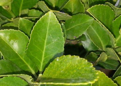 Euonymus Japonicus (Kap 3 clt 5 clt 10clt) (Boy 40-60=60-80=80-100)