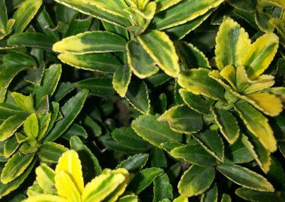 Euonymus Japonicus 'Microphyllus Aureus' (Kap 3 clt 5 clt 10clt) (Boy 40-60=60-80=80-100)