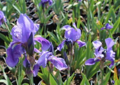 Iris Germenica (Kap 3clt 5clt 10clt) (Boy 30-40=40-60)