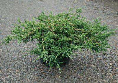 Juniperus Sabina Tamariscifolia (Kap 3clt 5clt 10clt) (Boy 40-60=60-80=80-100)