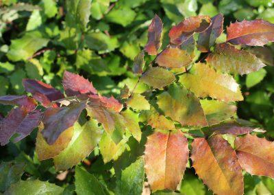 Mahonia Aquifolium (Kap 3 clt 5 clt 10clt) (Boy 40-60=60-80=80-100)