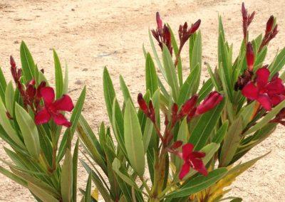 Nerıum Oleander Nana (Kap 3clt 5clt 10 clt) (Boy 20-40=40-60)