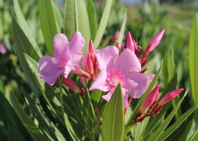 Nerium Oleander (Kap 3clt 5clt 10clt) (Boy 40-60=60-80=80-100)