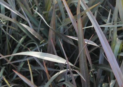 Phormium Tenax Atropurpureum (Kap 3 clt 5 clt 10clt) (Boy 40-60=60-80=80-100)