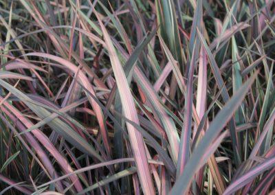 Phormium Tenax'Tricolor' (Kap 3 clt 5 clt 10clt) (Boy 40-60=60-80=80-100)