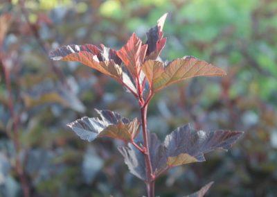 Physocarpus Opulıfolıus 'Diablo' (Kap 3 clt 5 clt 10clt) (Boy 40-60=60-80=80-100)