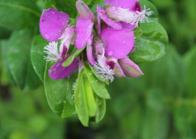 Polygala Myrtifolia (Kap 3clt 5clt 10clt) (Boy 40-60=60-80=80-100)