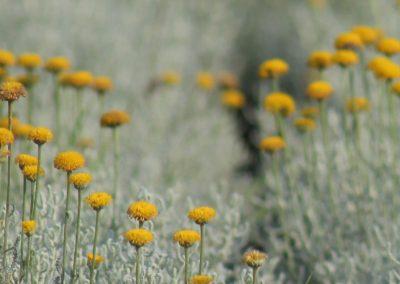 Santolina Chamaecyparissus (Kap 3clt 5clt 10clt) (Boy 40-60=60-80=80-100)